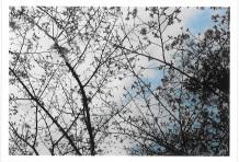 サクラの島に咲く桜。