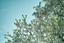 サクラの島のお花見。