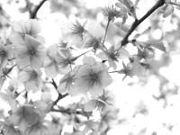 4月10日、桜の木の下でお会いしましょう。