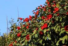 桜島に咲く椿のヒミツ。